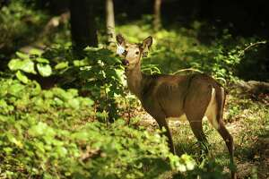 Sporting ear tags, a female deer is among the diverse wildlife living on the Remington Woods property in Bridgeport, Conn. on Monday, September 21, 2015. The property, which occupies over 400 acres in both Bridgeport and Stratford, is being cleaned up with plans for redevelopment by Dupont.