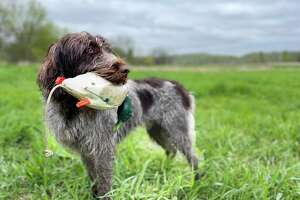 Mike Siena of Portland hunts waterfowl with his 2-year-old Wirehaired Pointing Griffon August Lincoln Siena, who is known as Gus. The pair have been out hunting in Portland with friends several times this week as part of early duck season, which runs from Oct. 11 to 16.