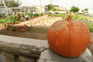 The Laredo Center for Urban Agriculture and Sustainability pumpkin patch started on Thursday and will run through every Thursday through Saturday in October.
