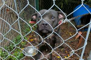 This dog was one of eight found in a Meriden residence in late July. The dogs were removed as police suspect they were being used in illegal dog fighting rings.