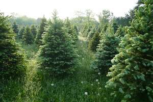 FILE - A photo of multiple Christmas trees