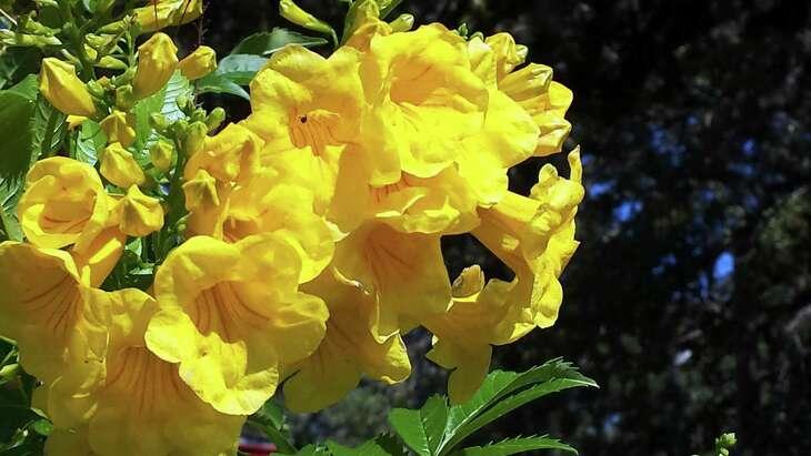 'Gold Star' esperanza (Tecoma stans) shines as bright as the sun in the summer landscape.