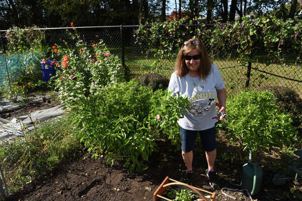 Barbara Agneta harvests basil from her plot at the Westland Hills Community Gardens on Wednesday, Oct. 20, 2021, in Albany, N.Y.