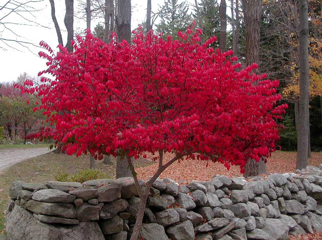 This burning bush shouts with color - Times Union