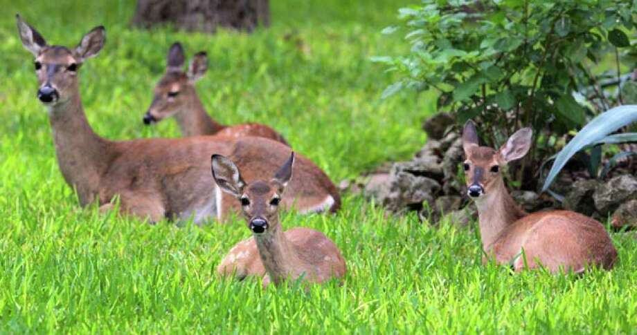 Deer sit in a yard on Meadowbrook Drive in Hollywood Park on Thursday. Controversy about management of the deer population there continues.
