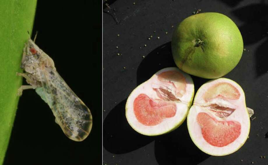 The Asian citrus psyllid (left) can transmit citrus greening disease after it has fed on infected plant tissue. A lopsided grapefruit (right) shows signs of infection.