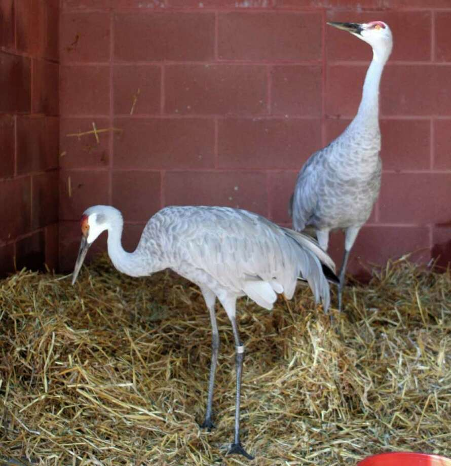 These two sandhill cranes recently made the move from Bay Beach Wildlife Sanctuary in Green Bay, Wis. to Connecticut's Beardsley Zoo in Bridgeport. After some routine medical examinations, the birds should be on display at the zoo within the next few weeks. Photo: Contributed Photo / Connecticut Post Contributed