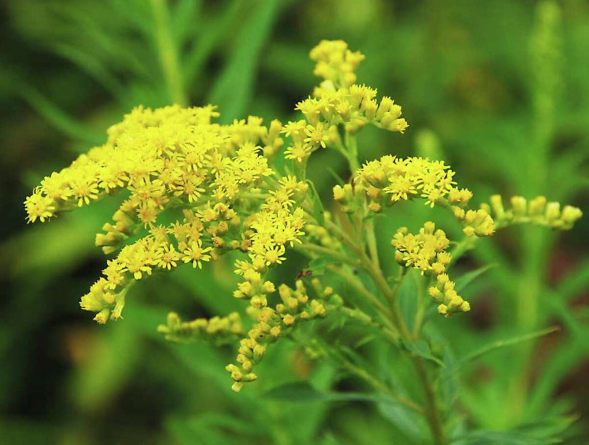 Goldenrod species display differences if you look closely