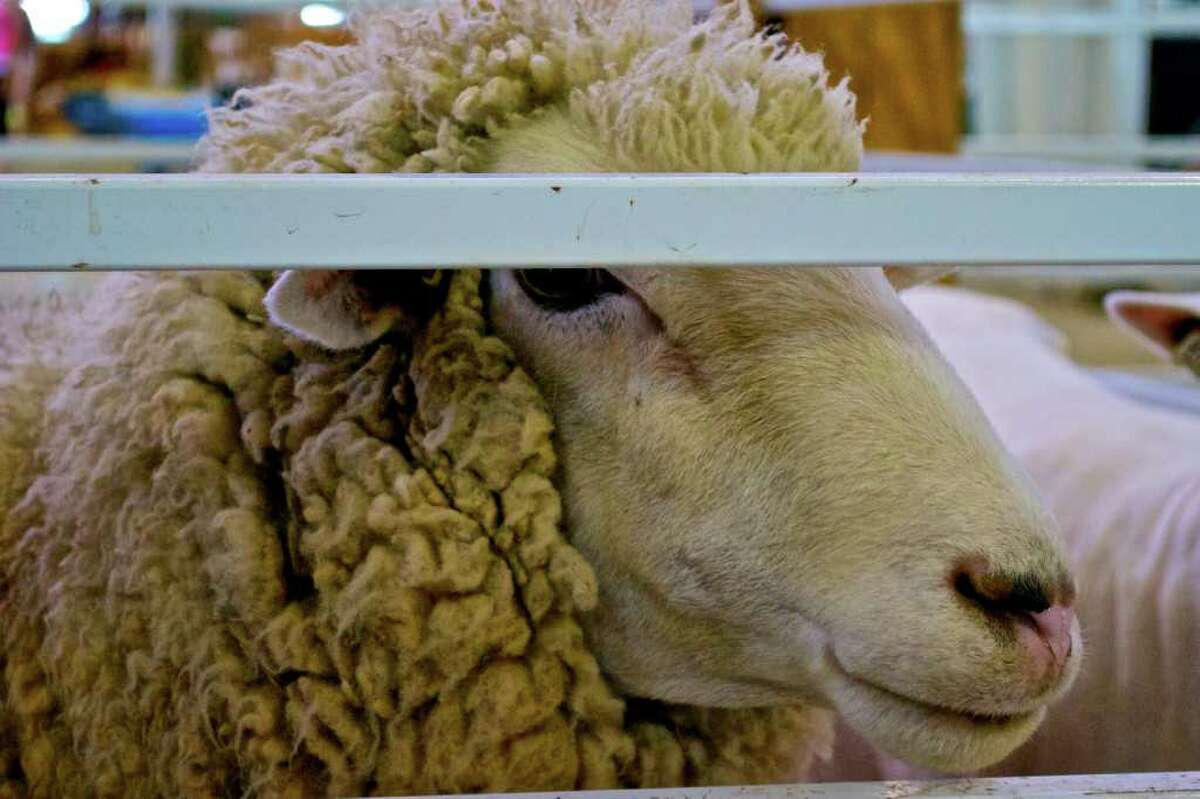 A sheep is seen at The Big E in West Springfield, Massachusetts, on Sunday, September 26, 2010.