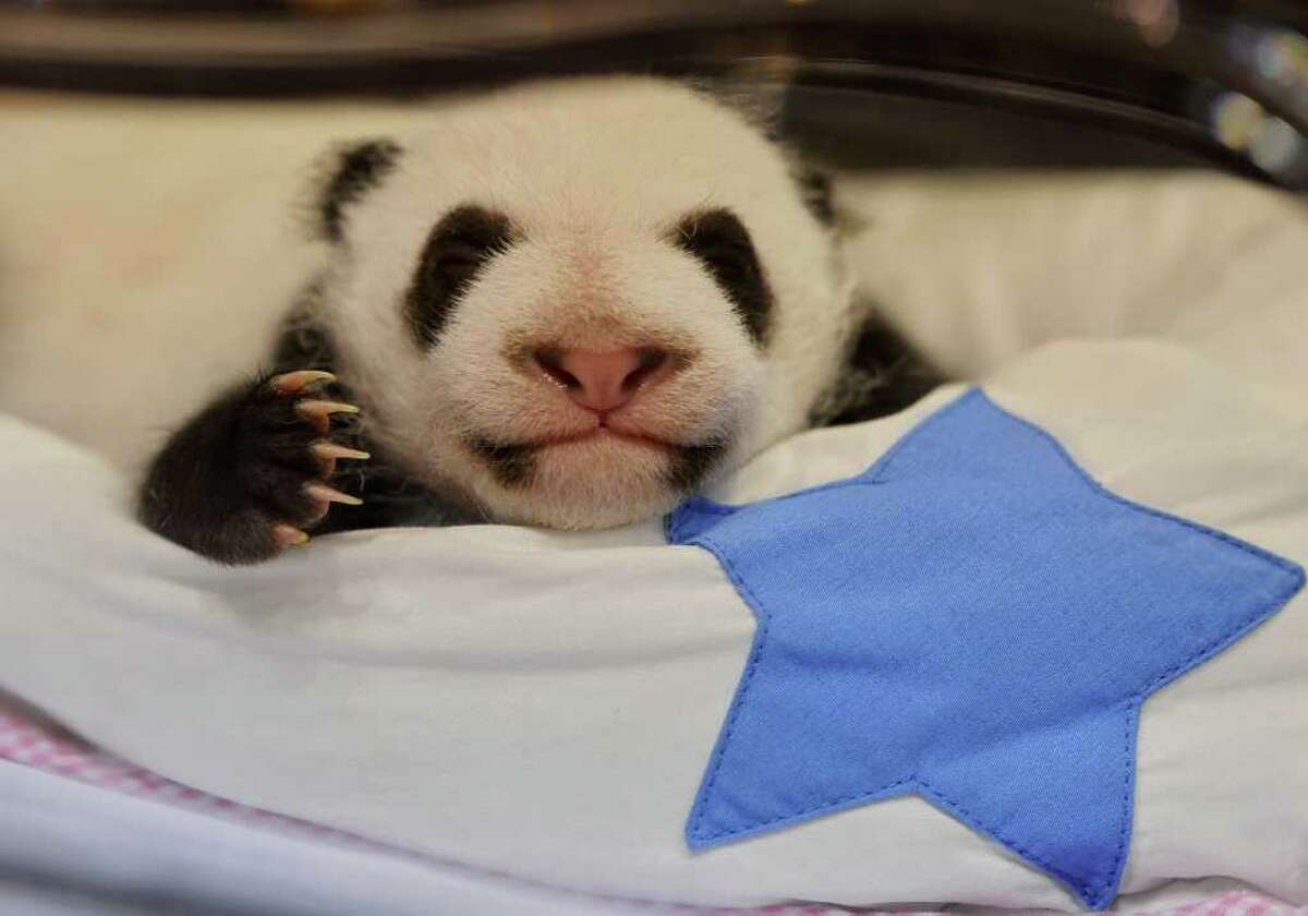 MADRID, SPAIN - OCTOBER 07: A newly born panda bear sleeps in it's incubator at the Madrid Zoo on October 7, 2010 in Madrid, Spain. The giant panda cubs, born today a month ago, on September 7, 2010, are the first giant panda twins to be conceived using the artificial insemination method outside of China. The gender of the cubs is still unkown. (Photo by Jasper Juinen/Getty Images)