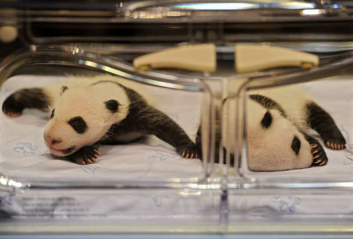 MADRID, SPAIN - OCTOBER 07: Newly born panda bears sleep in their incubator at the Madrid Zoo on October 7, 2010 in Madrid, Spain. The giant panda cubs, born today a month ago, on September 7, 2010, are the first giant panda twins to be conceived using the artificial insemination method outside of China. The gender of the cubs is still unkown. (Photo by Jasper Juinen/Getty Images)