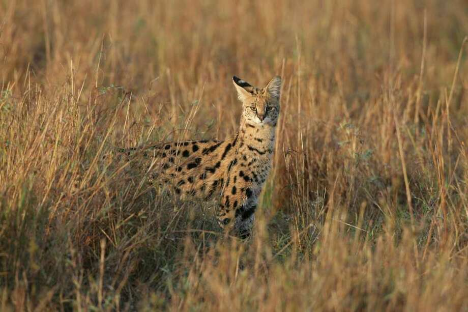 MASAI MARA, KENYA - DECEMBER 12:  A Serval walks through grassland on Dec 12, 2007 in the Masai Mara Game Reserve, Kenya.  (Photo by Dan Kitwood/Getty Images) Photo: Dan Kitwood, Getty Images / 2008 Getty Images