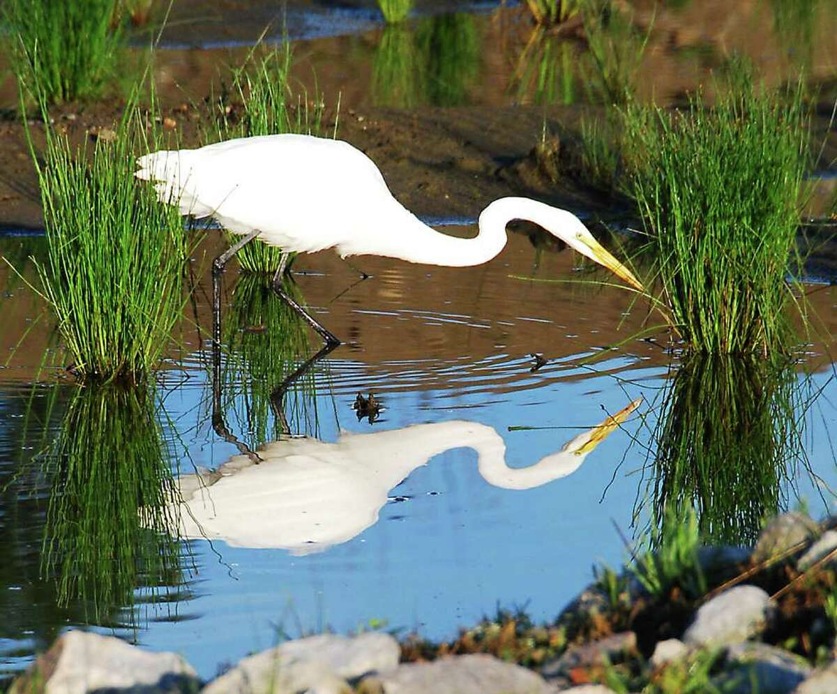 A great egret forages for food. Note the dark black legs that make identification easy. A white great blue heron would have yellow legs. (Bill Danielson)