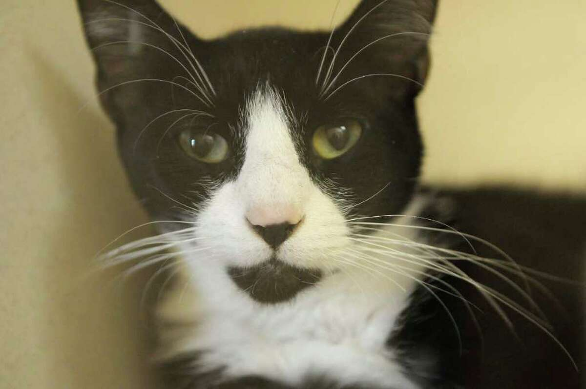 An adult cat at the new Saratoga County Animal Shelter in Milton is looking for a new home. (Paul Buckowski / Times Union)