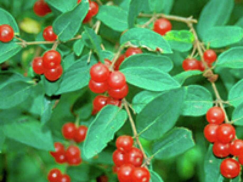 Honeysuckle berries (The Nature Conservancy)