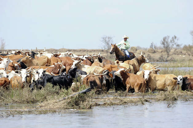 Rancher David Edwards herds salt-water crazed cattle from a flooded pasture to the higher ground off Texas 124 near High Island days after the storm. Valentino Mauricio