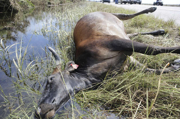 The carcass of one of hundreds of cows drowned by Ike's storm surge is among the devastating sights along the roadside of Texas 124 near High Island. Valentino Mauricio