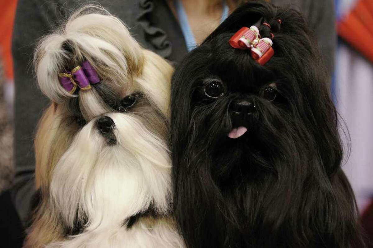 """NEW YORK - OCTOBER 17: (L-R) Tylie and Kiera take part in the second annual """"Meet the Breeds"""" showcase of cats and dogs at the Jacob K. Javits Convention Center on October 17, 2010 in New York City. """"Meet the Breeds"""" is hosted by The American Kennel Club and Cat Fanciers Association, and 160 dog breeds and 41 cat breeds were presented this year. (Photo by Michael Loccisano/Getty Images)"""