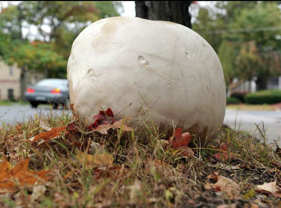 This 22-pound puffball was growing in Bridgewater until mushroom hunter Oliver Davis of the Gaylordsville section of New Milford plucked it. It's now the season for these mushrooms, which can grow to the size of basketballs, or even bigger. Photo: Carol Kaliff / The News-Times
