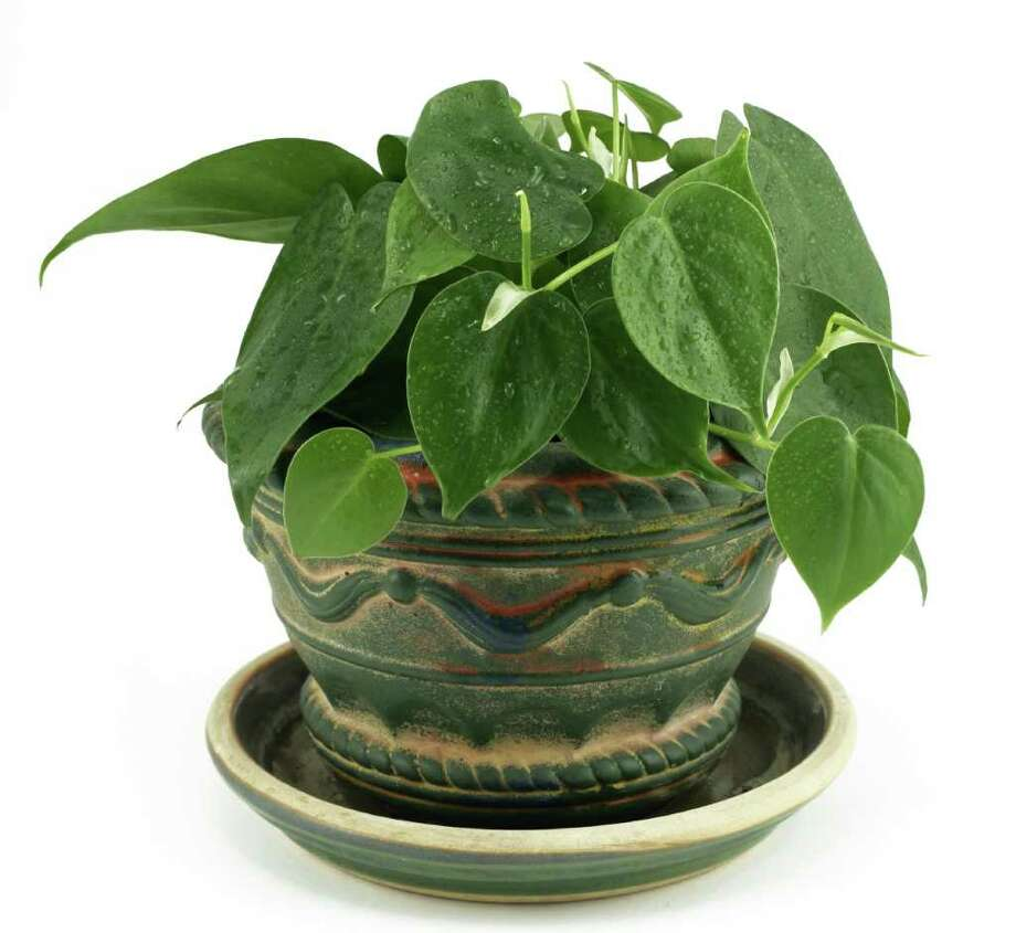 Philodendrons do well in low light and can be grown in a variety of ways. (Fotolia.com) Photo: Diane O'Keefe / Pinon Road - Fotolia