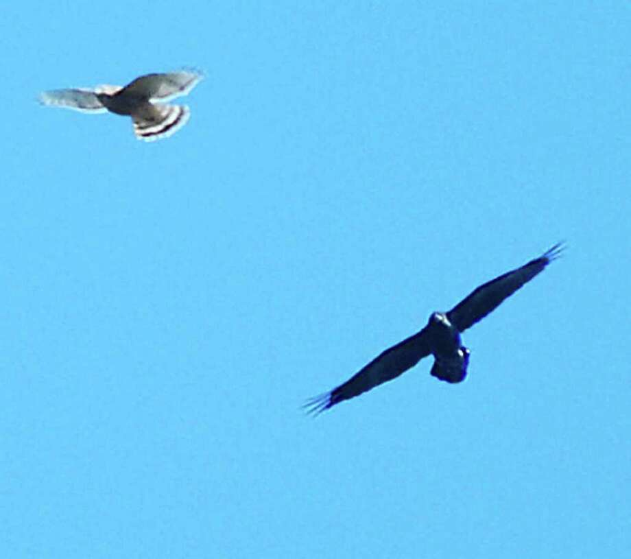 Here, a common raven appears to be teasing a somewhat smaller broad-winged hawk. Adult ravens have nothing to fear from hawks. This image is a little grainy, but quite illustrative of the size of ravens. (Bill Danielson)