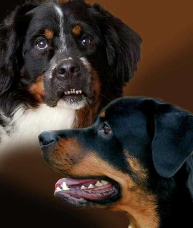 A new fund to help defray medical costs for treating pets with cancer has been named in memory of a Bernese mountain dog Riedel, left, and a Rottweiler Cody, owned by area residents Mark Tillinger and David Duchemin, respectively. Photo: Contributed Photo / Fairfield Citizen contributed