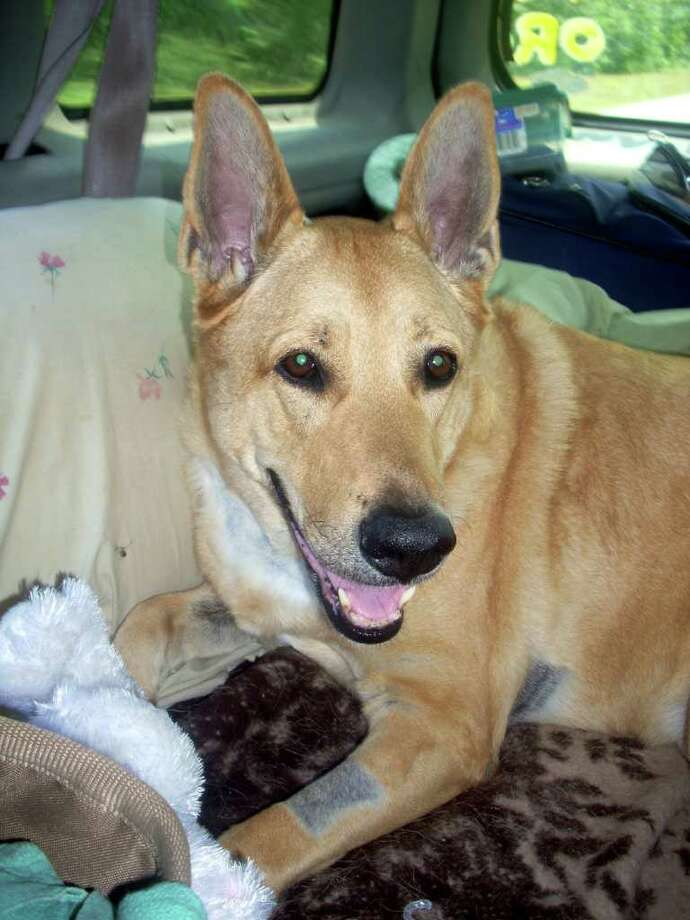 Angel, a Carolina yellow dog whose cancer treatment costs tallied $16,000, is among the first pets whose medical bills are being supplemented by the new Riedel and Cody Fund in Fairfield County. Photo: Contributed Photo / Fairfield Citizen contributed