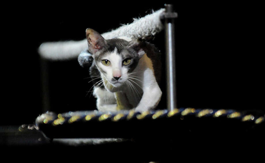 Mayya Panfilova's trained housecats perform during the Ringling Brothers and Barnum and Bailey Circus at Ford Park in Beaumont, Friday. Tammy McKinley/ The Enterprise