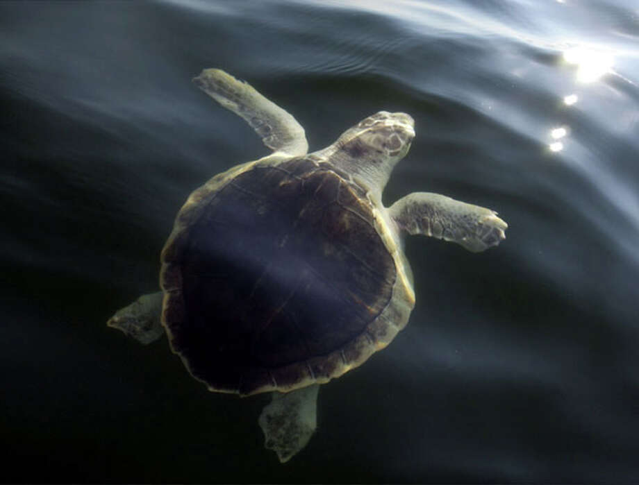 A Kemp Ridley sea turtle. (AP Photo/Joey Gardner) / AP2002