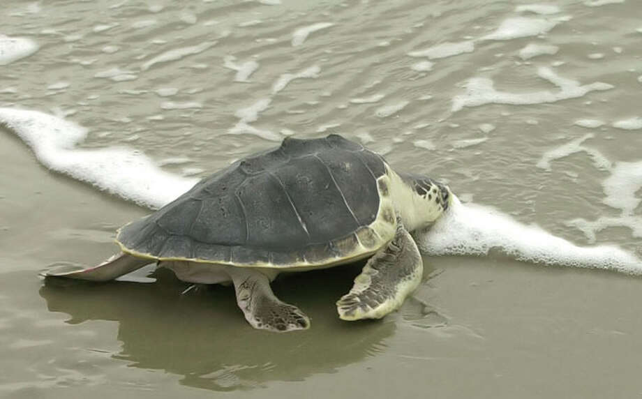 An endangered Kemp's ridley sea turtle heads to the sea after being released Monday, May 19, 2003, at Folly Beach, S.C. It is one of two turtles rehabilitated at the South Carolina Aquarium after they were stranded last year on a Cape Cod beach. (AP Photo/Lou Krasky).     HOUCHRON CAPTION (07/16/2003): Some shrimp boats are equipped with turtle   excluder devices, or TEDs, to keep from killing sea turtles such as this one, the Kemp's ridley, which is endangered. / AP