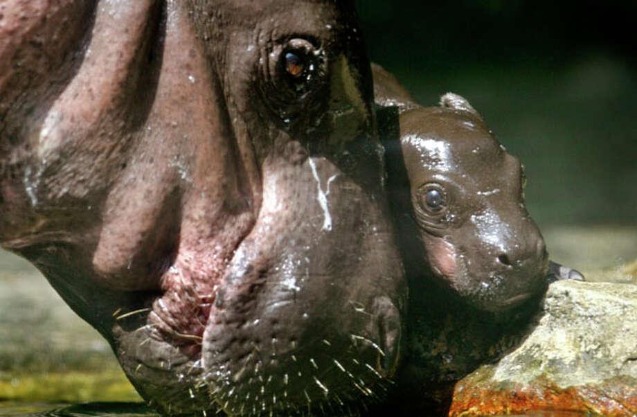 Pygmy Hippo baby (AP Photo)