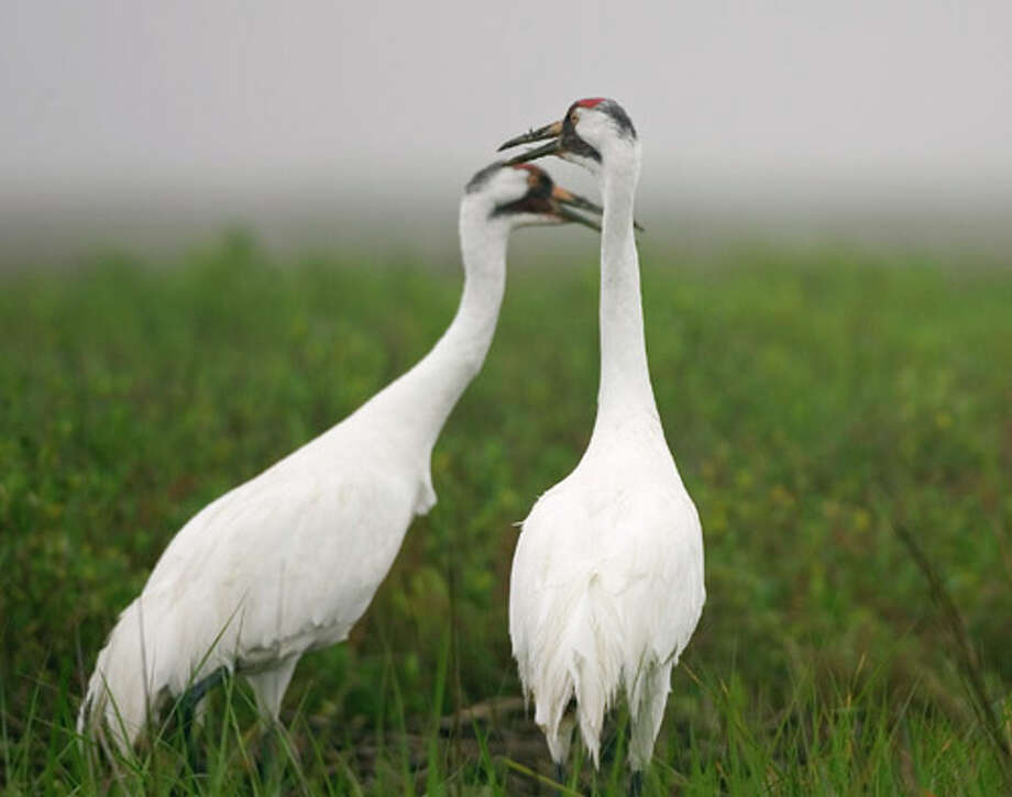 Endangered Whooping Cranes Photo courtesy of the Texas Parks and Wildlife Department