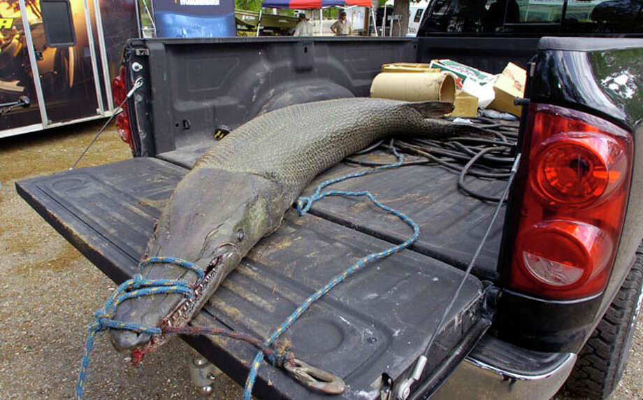 A new line class record Alligator Gar lays in the back of a pickup.  The 197 lb. fish broke the previous record by 8 pounds and was caught on 14 lb. line by Jarrod Holcomb Friday at the Big Bass Splash Fishing Tournament at Lake Sam Rayburn.  Dave Ryan/The Enterprise