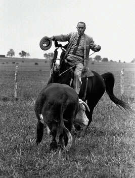 President Lyndon Johnson proves he's a pretty good cowhand as he puts his horse, Lady B, through the paces of rounding up a Hereford yearling on his LBJ Ranch near Stonewall, Texas, November 4, 1964. (AP Photo)