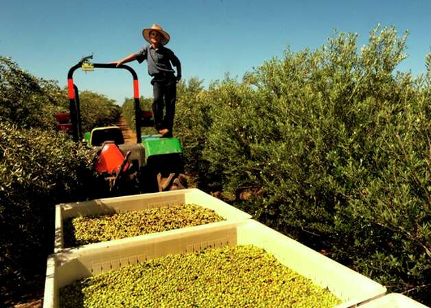 Mylim Hooley stands by freshly harvested olives at the Texas Olive Ranch during an event promoting the olive oil industry.