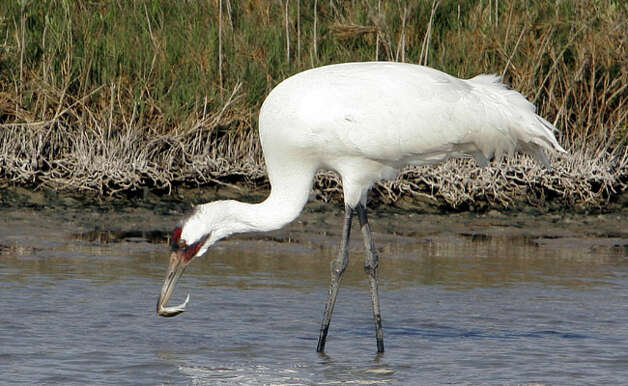 The whooping cranes at Aransas National Wildlife Refuge are the last population of the species in the wild that migrates.