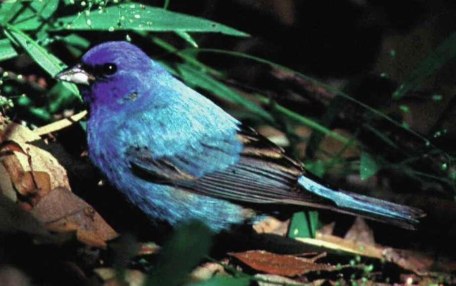 Indigo Bunting Photo credit: Earl Nottingham/Texas Parks & Wildlife