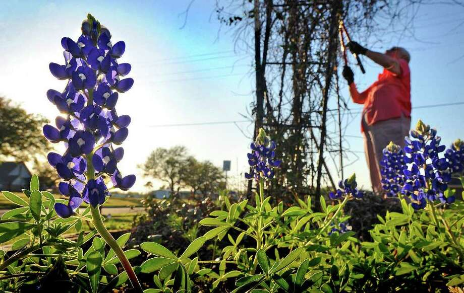 A few blue bonnets blooms near Polly Smith at her Port Neches home. Photo by Guiseppe Barranco. / Beaumont