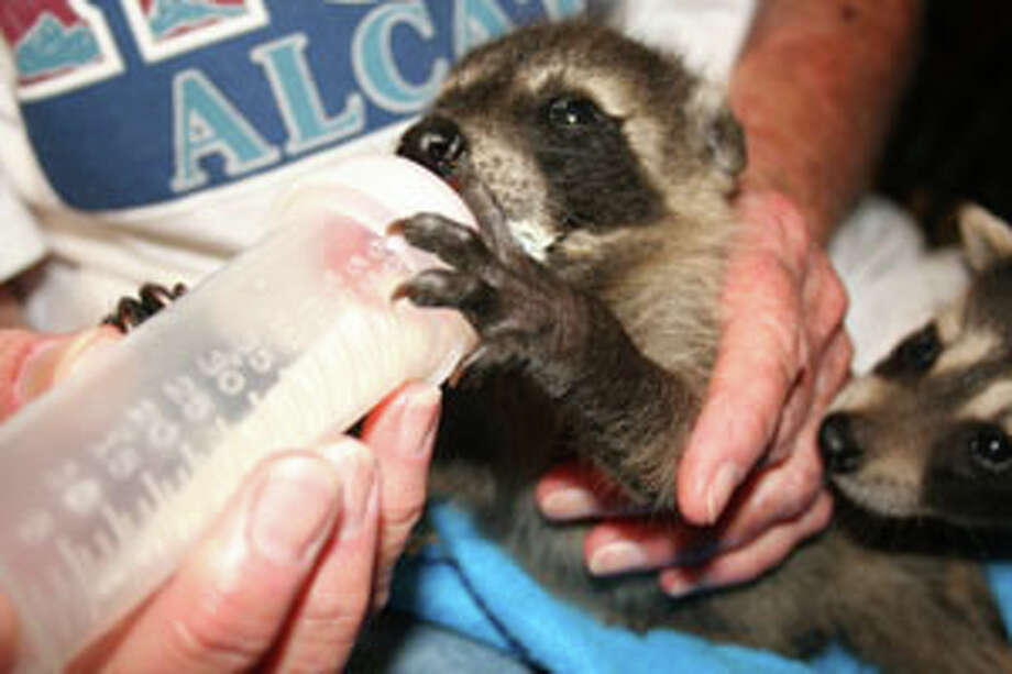 Anne Reynolds, a wildlife rehabilitator, nurtures baby animals like this raccoon until they have developed enough to make it in the wild. Teresa Mioli/The Enterprise