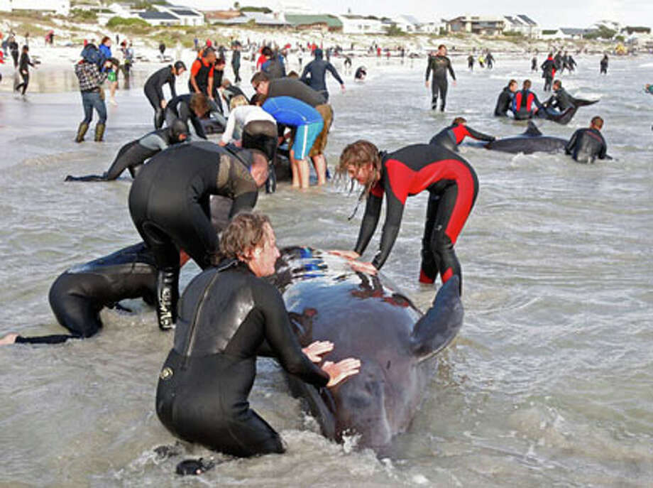 Beachgoers attempt to save a whale in Kommitjie, South Africa, May 30, 2009. Dozens of false killer whales beached that morning near the storm-lashed tip of South Africa, prompting a massive rescue operation. AP Photo/Schalk van Zuydam