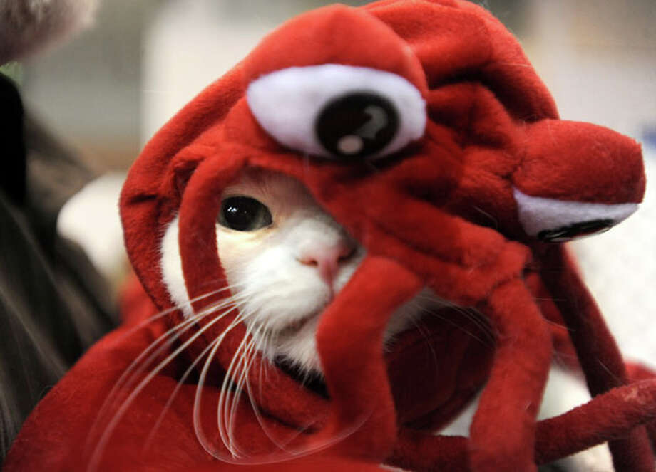 Shiloh competes in a lobster costume during the 19th Annual Cat Fanciers Association Cat show's costume contest at the Civic Center in Beaumont, Saturday.  Shiloh won 3rd place in the contest. Tammy McKinley/ The Enterprise