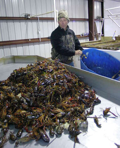 Brian Fischer, co-owner of Texas Crawdaddy's Inc. and The Crawfish Hole Restaurant in Winnie, looks over his roughly 30 pounds of fresh caught crawfish from a pond that contains about 400 traps.    Dave Ryan/The Enterprise