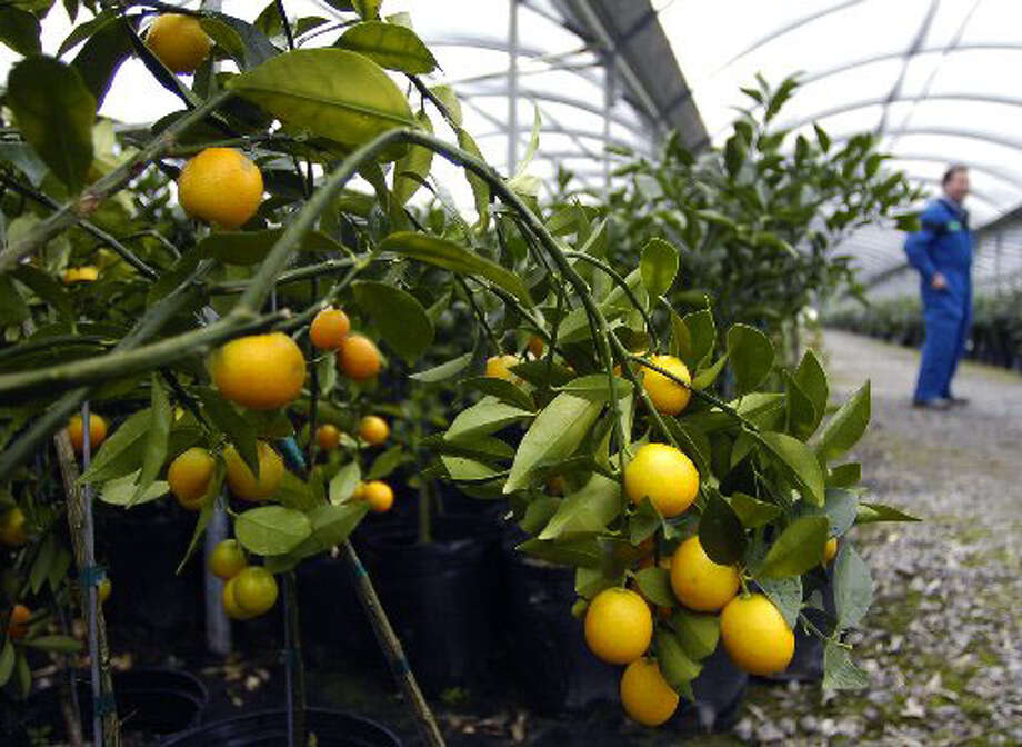 Ricky Becnel, one of the owners of the Saxon Becnel & Sons Citrus Nursery in Orange talks about the citrus plants that he has stored inside two greenhouses to protect them from the coming cold temoertures.  Dave Ryan/The Enterprise