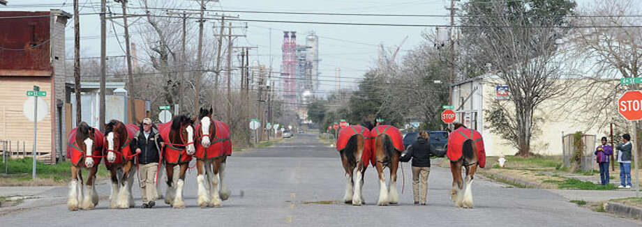 Port Arthur residents take pictures of the Budweiser Clydesdales as they are walked along the street for exercise. The massive animals will be featured in several Mardi Gras parades this weekend. Guiseppe Barranco/The Enterprise / B