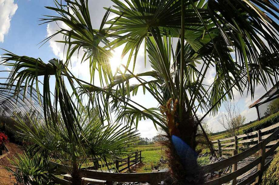 Windmill Palm at Al Cook Nursery Guiseppe Barranco/The Enteprise