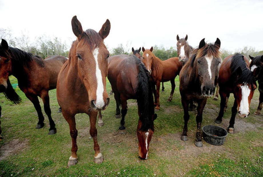 Horses gather to graze in a prairie in Winnie on Wednesday.  The majestic and untamed animals were brought to the area in preparation for Thursday's rodeo at the South Texas  State Fair. Guiseppe Barranco/The Enterprise