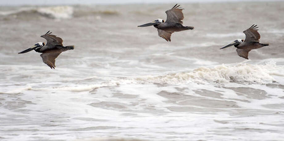 Brown pelicans glide over the surf along the coast of the Bolivar Pennisula, Wednesday. The pelicans are on the threatened species list. Tammy McKinley, The Enterprise