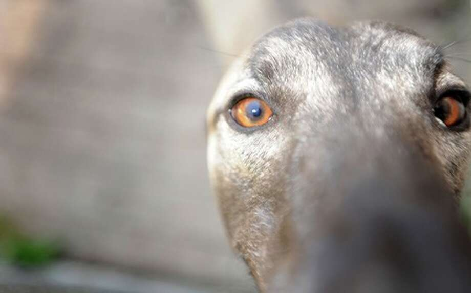 Smoke is one of several greyhounds housed at C.J. Jergenson home in Vidor. Jergenson and his wife find home for the animals after retiring from racetracks. Guiseppe Barranco/The Enterprise