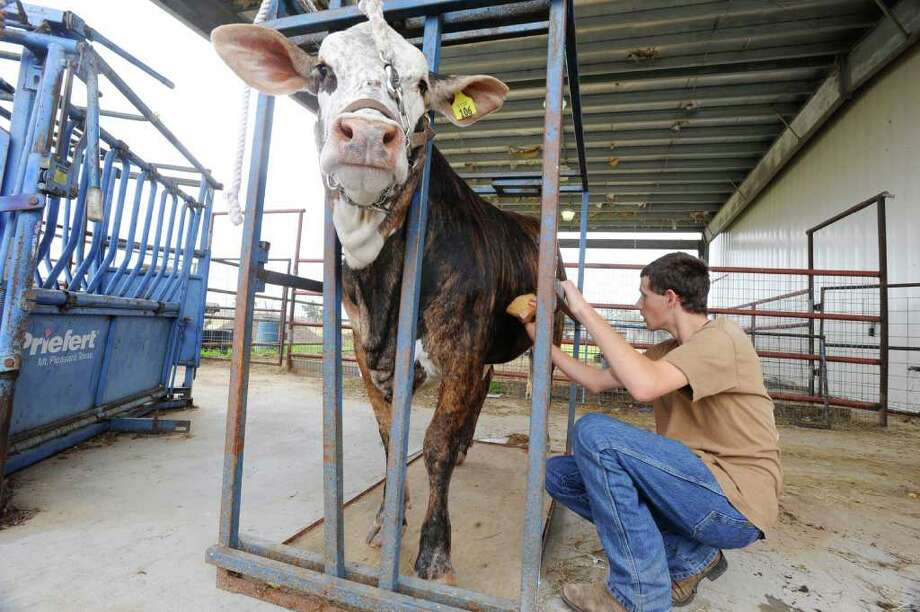 """Hamshire-Fannett High School student, Caleb Verret, 16, works on grooming, """" Moody,? his F1 Braford Heifer that he will be taking to the Houston Livestock Show and Rodeo. Thursday, February 26, 2009. Valentino Mauricio/The Enterprise"""