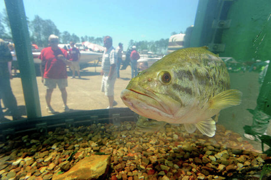 Guests of the Big Bass Splash peek Sunday at a few of the largest fish caught in the annual tournament. Thousands thronged to Lake Sam Rayburn in an attempt to cash in on more than $1 million in prizes Guiseppe Barranco/The Enterprise